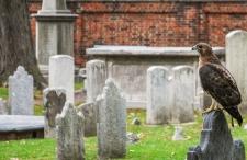 Hawk at Christ Church Burial Ground, Philadelphia, PA
