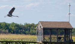 Great blue heron, Patuxent River, MD